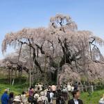 福島 三春の滝桜。圧巻。