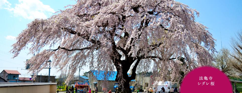 【まだまだいける】北海道まで桜を追いかける旅なんかどう?