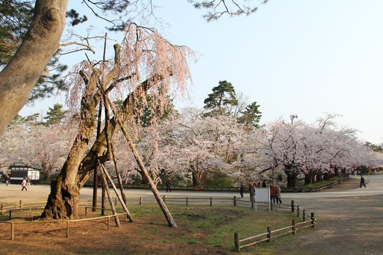 春には桜で溢れる観光名所 弘前公園
