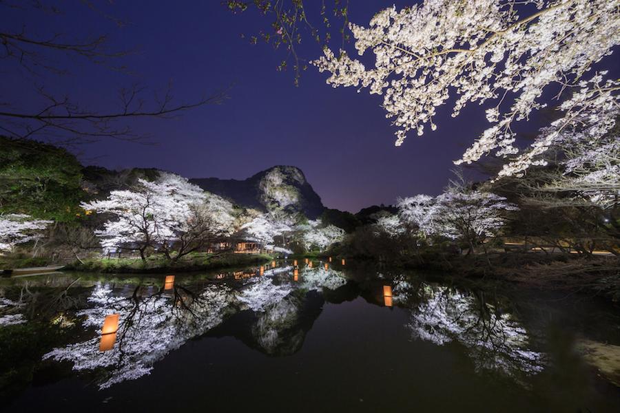 ライトアップされた桜はまさに息を飲む美しさ。