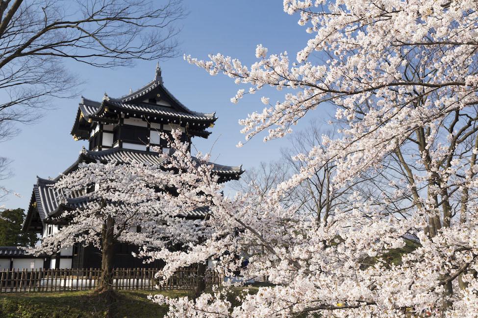 【 今年もハンパない!】日本三大夜桜「高田城百万人観桜会」の美しさに息を飲む